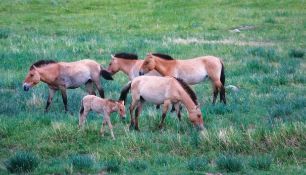 Przewalski-Pferde (Takhi)