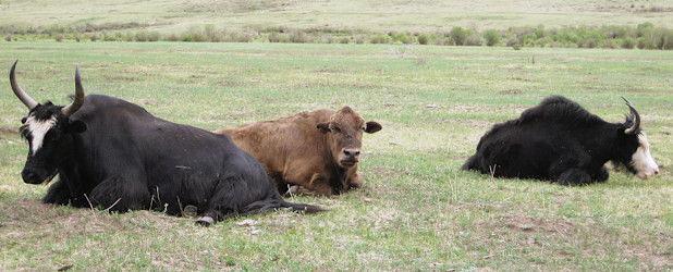 Yakwandern in der zentralen Mongolei (18 Tage)